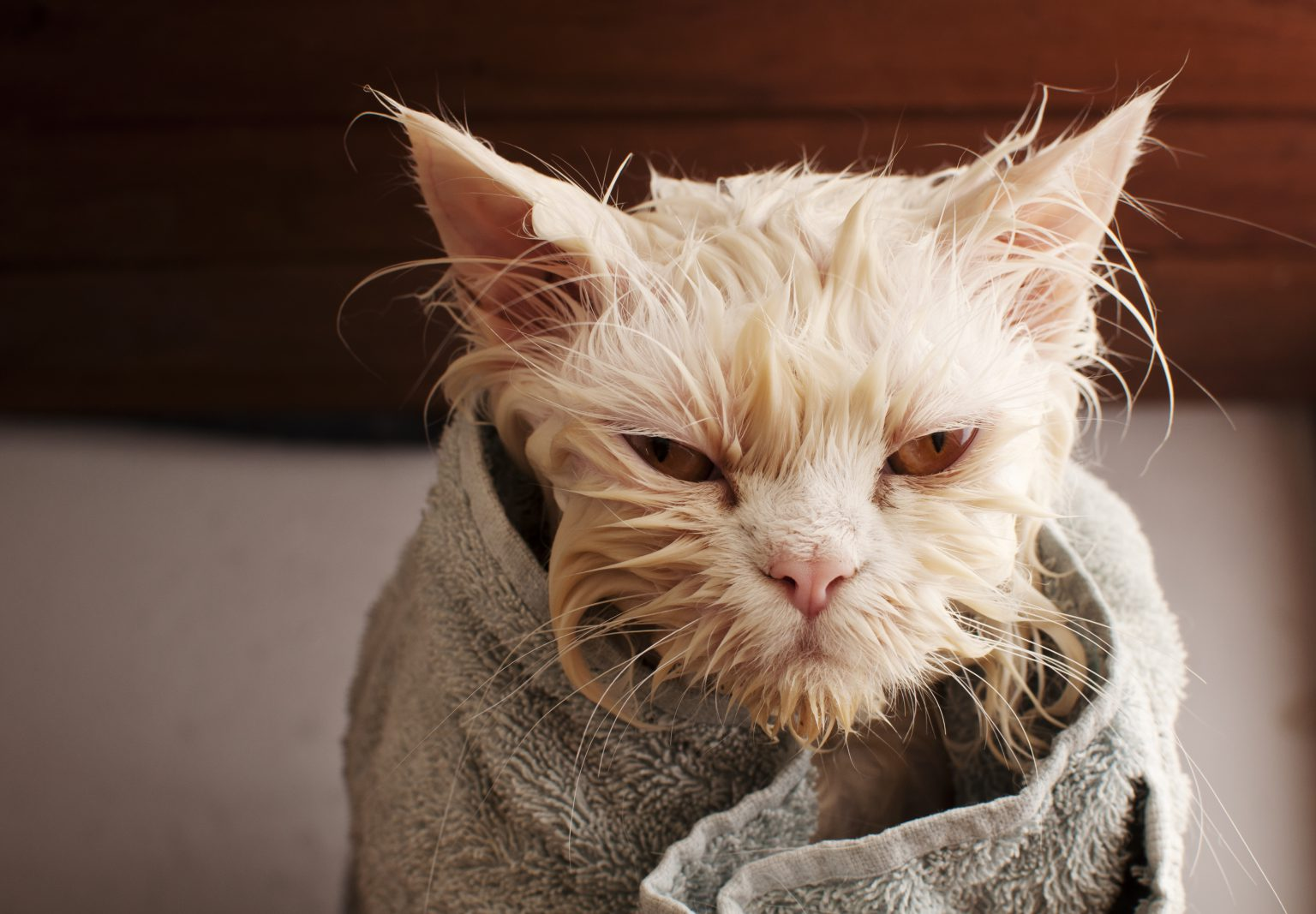 No, Don't Bath a Cat (and When You Really Must) - PD Insurance