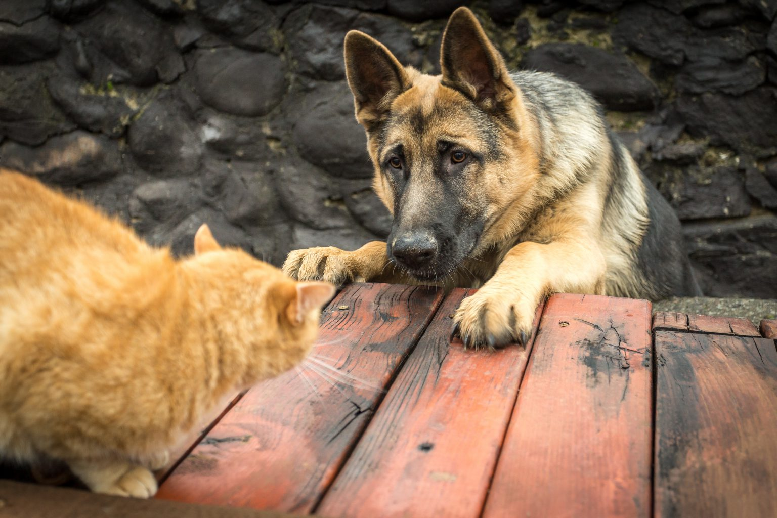 Why Dogs Chase Cats and How You Can Help - PD Insurance
