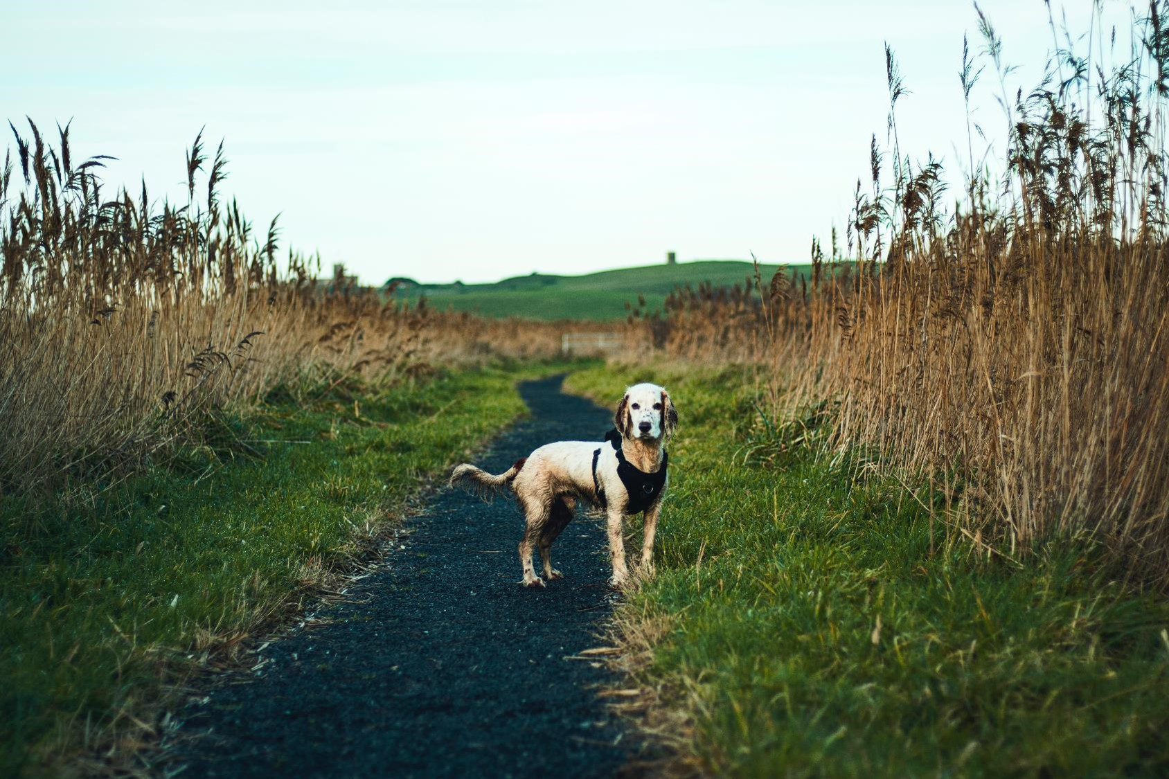 white dog loose on path in the country