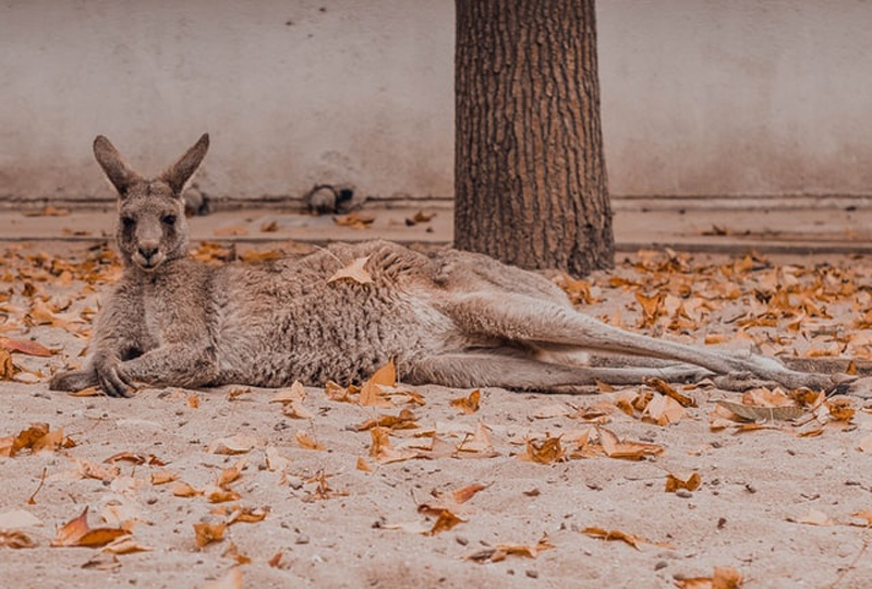 seeing a kangaroo lying on the road like this is a sure sign that youre driving in australia