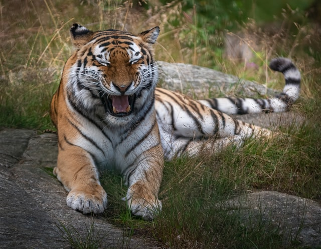 Does the tiger match your personality?