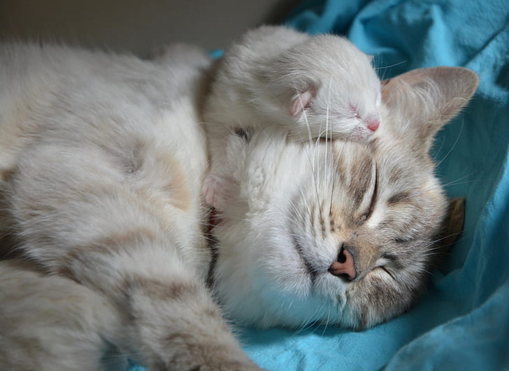 This mother and kitten are practicing the cat's purr that shows love, security and keeps them together.