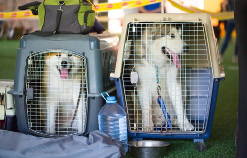 These two dogs are on their way to the airport for an Easter holiday, travelling by air.