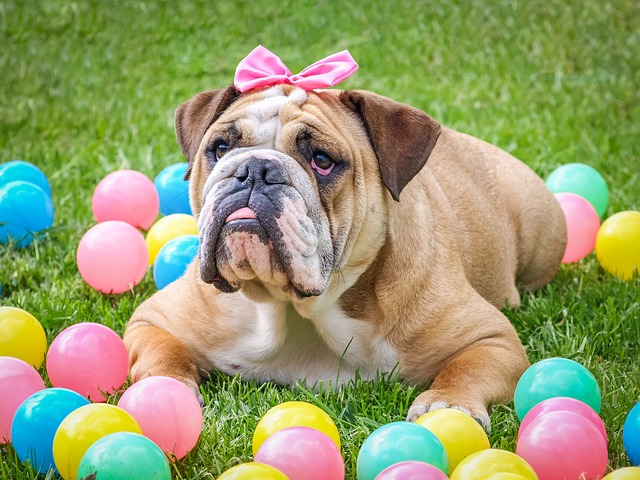this bull dog photography shoot uses easter balls and bows