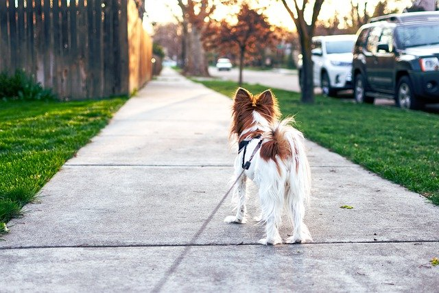 this white and brown collie dog is waiting on the pavement to get exercise by going on a walk