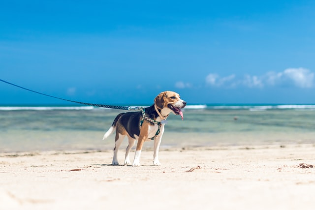 a beagle is one of the kindest dog breeds