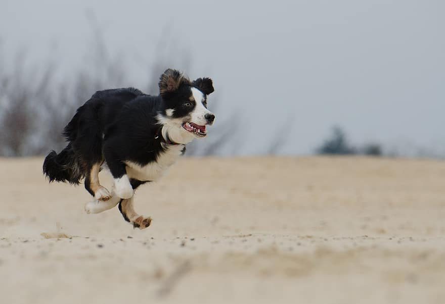 Border Collies need lots of exercise as they've been bred for stamina and endurance.