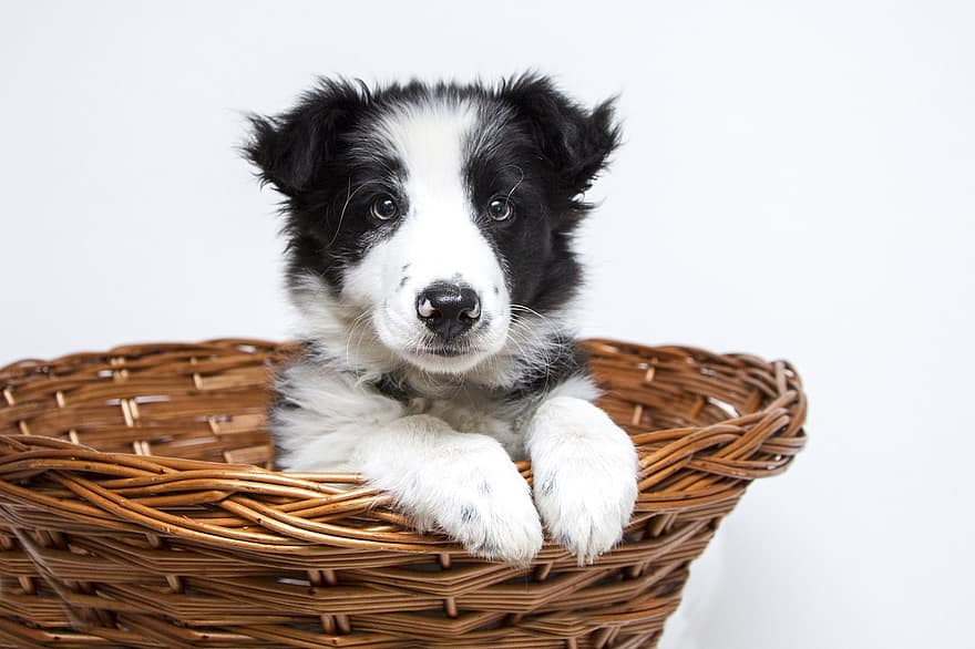 Border Collie puppies can start out with obedience training rather than strenuous exercise given their bones and ligaments are still growing.