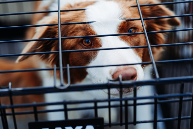 Crate training can have benefits for some dogs but can also cause some dogs trauma.