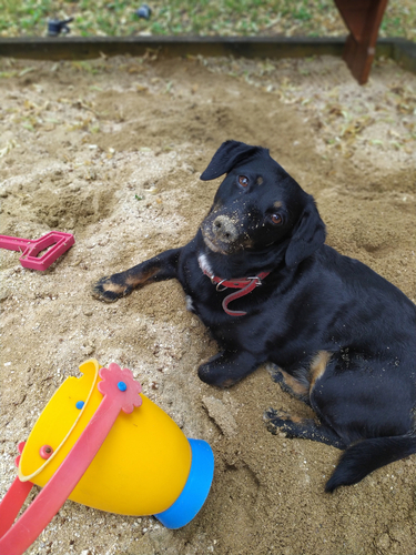 digging in a sandpit is a good way to exercise a dog without walking. This nlack labrador is lying in a sandpit after digging