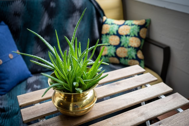 aloe vera is one of the plants that is toxic to pets