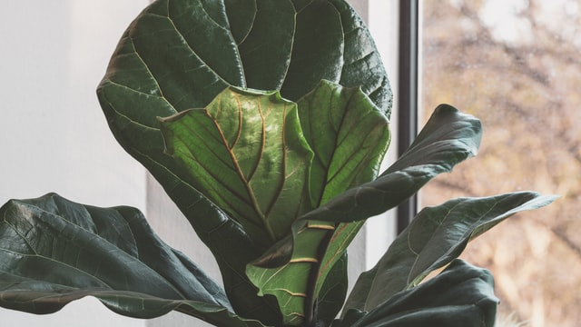 fiddle leaf fig is one of the plants that is toxic to pets