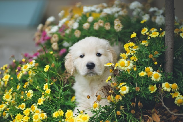 golden puppy sitting in fields of flowers - this plant isn't toxic but many others are
