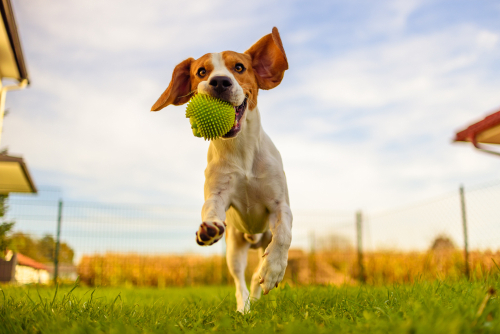 This beagle dog has ample space to run and exercise at home - a good thing for this breed!