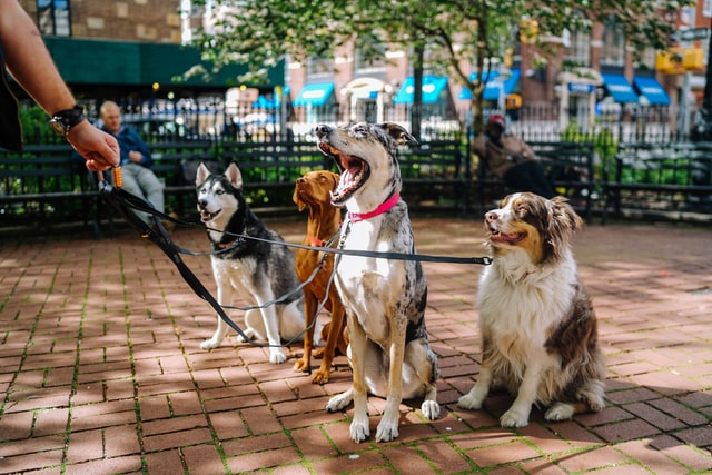 group of purebred dogs on leashes including shepherd and husky