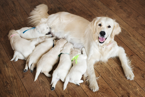 pedigreed labrador dog with papers feeding litter of puppies