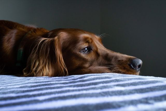 a dog with Ehrlichiosis might appear listless or lethargic like this spaniel