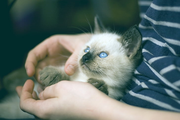This Siamese Cat has a big personality.