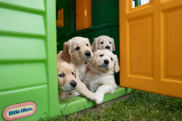 litter of yellow labrador puppies looking relaxed and well cared for. This is a sign of a good dog breeder