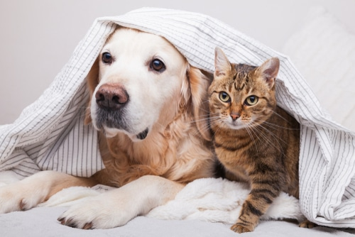 This Labrador and tabby could one day be saved by Cat and dog CPR.