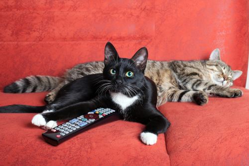 Cats lie on sofa and watch cat TV.