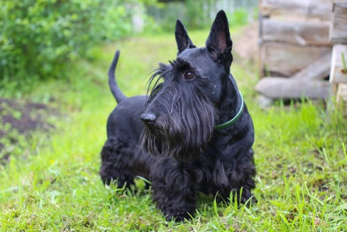 A black haired Scottish Terrier.