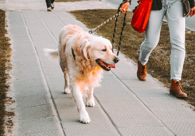 Stolen dogs have even been snatched from their owners while walking in the street.