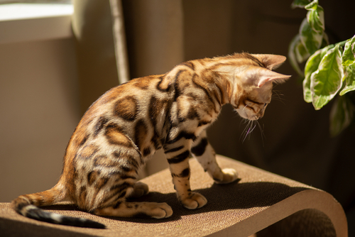 A young Bengal cat sitting on a stool in the sun