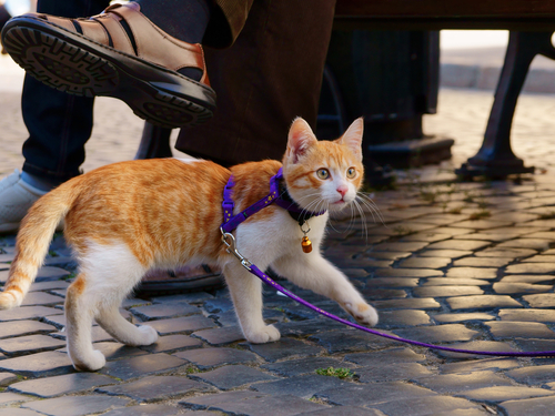 ginger and white cat walking on leash outside