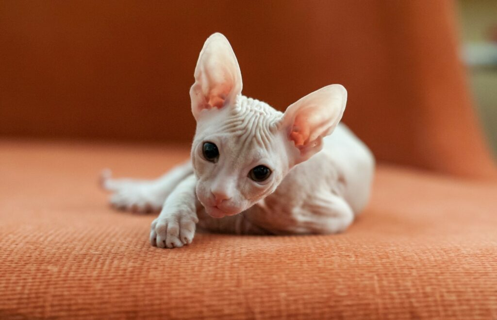 according to the internet, this Sphynx is an ugly cat breed