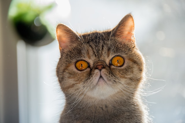 exotic shorthair cats have been called an ugly cat breed by some