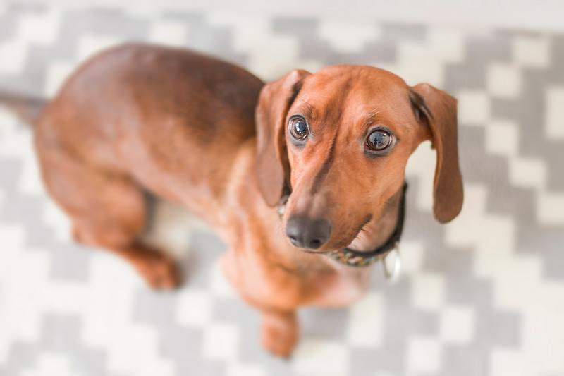 IVDD in Dachshunds like this one is common