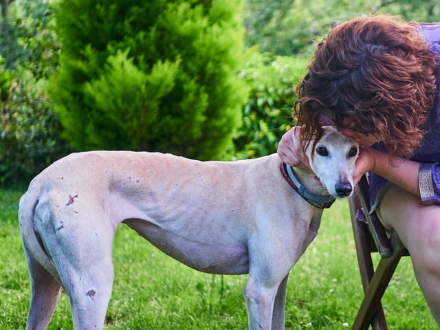 person with fawn greyhound on grass