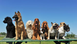 big group of purebred dogs sitting on bench - some of these dog breeds are prone to health conditions